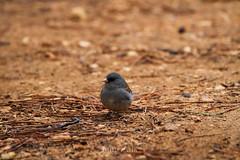 Dark-eyed Junco (Junco hyemalis) (emiliechenphotography) Tags: bird spring brycecanyonnationalpark 2016