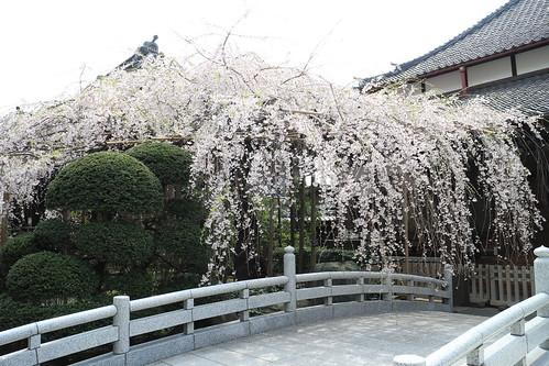 玉蔵院枝垂れ桜2016