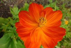 COSMOS rouge-orange tourbillonnant ! (01937100-Thanks for your 2 MILLIONS visits.) Tags: orange cosmos tourbillon