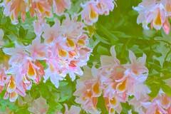 Azalea Blossoms (Aurora Santiago Photography) Tags: seattle reflection washington azalea kubotagarden