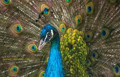 Stolz wie ein Pfau... (rafischatz... www.rafischatz-photography.de) Tags: male bird nature pentax feather peafowl k3 plumage phasianidae