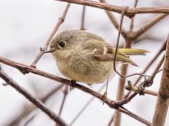 Just A LIttle Bird (Wes Iversen) Tags: nature birds michigan wildlife branches wrens odc rubycrownedkinglet reguluscalendula hcs grandblanc grandblanccommons ourdailychallenge clichesaturday tamron150600mm