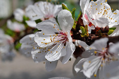 apricot blossom 3 (intui.pro) Tags: flower tree fruits field garden spring bloom april apricot flowering depth