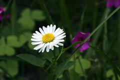 una margherita (Lady Marianna) Tags: fiore petali margherita