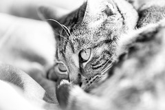 Milli (markrellison) Tags: blackandwhite monochrome female cat feline highkey bengal f28 milli lightroom 200mm iso1000 120sec lrcc canoneos5dmarkiii ef70200mmf28lisiiusm lightroomcc