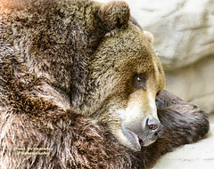 Grizzly Bear Contemplating a Nap at the Denver Zoo, Colorado (D200-PAUL) Tags: bear zoo colorado denver grizzly denverzoo brownbear ursusarctos grizzlybear ursusarctoshorribilis bearbrown beargrizzly ussuri paulfernandez