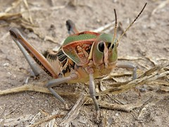 Brachystola mexicana (carlos mancilla) Tags: insectos grasshoppers saltamontes chapulines olympussp570uz brachystolamexicana