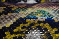 snake skin (garlick.rachel) Tags: colour skin reptile snake amphibian scales macromondays