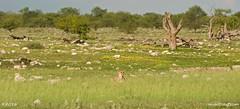 Namibia 5_5395_edited-1 (arx7) Tags: africa camp elephant jackal lion pride ostrich adventure safari leopard fox rhino zebra antelope giraffe savannah endangered impala waterhole namibia herd lioness hyena eland oryx etosha springbok wildebeest dikdik windhoek savanna swakopmund walvisbay anant gamereserve kudu hartebeest herero blackrhinoceros gemsbok skeletoncoast damara steenbok bantu namibdesert naukluft etoshapan subsaharan etoshanationalpark namibnaukluft okaukuejo africanwildcat raut anantrautorg anantraut republicofnamibia republiknamibia anantrautcom republiekvannamibie kuneni dolomitehills blackbackedhyena