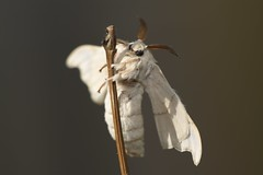 Bombyx mori (a) (JoseDelgar) Tags: mariposa contactgroups greatphotographers josedelgar bombyxmori ngc national moth week npc thegalaxy