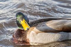 Who you looking at? (agladshtein) Tags: camera ny newyork duck spring cny centralnewyork ithaca fingerlakes cayugalake 2016 tompkinscounty nikond800 nikkor200500