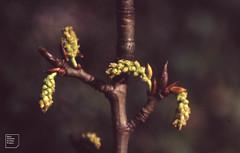 Black poplar male catkin, March 1992 (Mary Gillham Archive Project) Tags: blackpoplar planttree populusnigra st138808 wales cardiff forestfarm 1992 47733 march1992