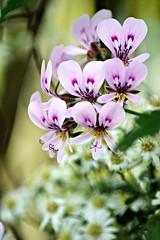 spring flowers (heyjudephoto) Tags: morning flowers light nature spring purple tiny bunch lavendar