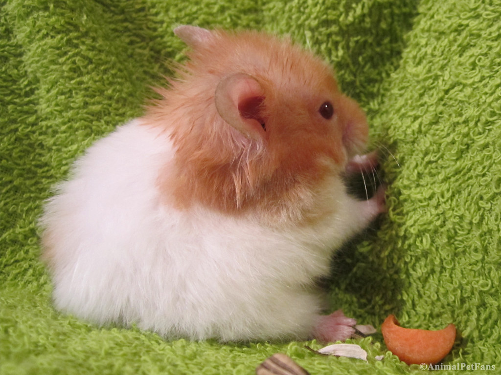 A hamster co-author of a research paper by the Nobel of Physics Andre Geim