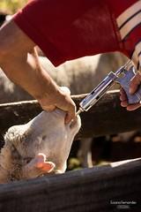 'Dosando o rebanho..' (Suzana Fernandes Fotografia) Tags: rural work campo trabalho pampa lida gaucho simplicidade cordeiro ovelha agronegcio campeiro pastoreio tupanciret dosando