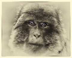 Portrait. (Petefromstaffs) Tags: portrait canon vintage border elements toned textured barbarymacaque 60d