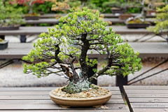 20160413-32-Bonsai at Kyoto Botanic Gardens (Roger T Wong) Tags: travel trees holiday japan kyoto bonsai botanicgardens 2016 canonef70200mmf4lisusm canon70200f4lis canoneos6d rogettwong
