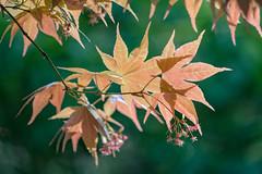 Japanese Maple at Cheekwood (MichellePhotos2) Tags: macro tree green leaves garden botanical japanese leaf maple nikon nashville japanesemaple tennesse cheekwood 150mm cheekwoodbotanicalgarden d800e nikond800e