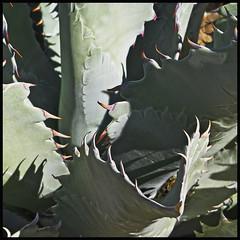 Agave 2015 #24 (hamsiksa) Tags: arizona plants beautiful thorns spines sonorandesert radial desertplants desertbotanicalgardens agves agavecaea