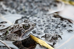 Frog III - Gathering (callocx) Tags: macro water animal fauna eyes sweden wildlife egg amphibian frog parent tele vsters slimy djkneberget