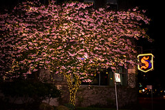 Warm Nights & Cherry Blossoms (Fox Darling) Tags: ocean park pink flowers trees light sunset summer sky dog moon snow west flower building tree art heritage love beach nature beauty fruit vancouver contrast puppy cherry lights hotel coast living seaside spring amazing wolf glow blossom antique magic blossoms plum luna sparkle fairy american stanley fox stunning end second magical luxury sylvia eskimo vancity 2016 eskie