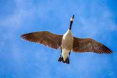0421 IMG_4819 (JRmanNn) Tags: geese canadian