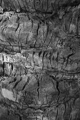 Bark (Lainey1) Tags: flowers bw plants color detail tree texture nature monochrome outside grain sigma palmtree cracks foveon lainey1 foveonsensor sigmafoveon elainedudzinski dp3m sigmadp3m