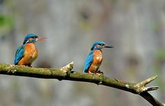 Couple de martin-pcheurs (Diegojack) Tags: nature la nikon couple eau oiseaux tang sauge cudrefin nikonpassion d7200 centreaspo