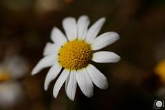 Margarita (ortadilla) Tags: naturaleza flower macro hoja primavera nature hojas leaf spring flor sheets polen daisy margarita sheet pollen 90mm plen
