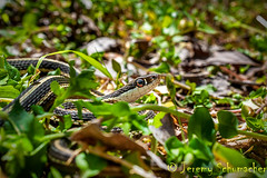 Eastern Ribbon Snake *State Threatened* (Jeremy Schumacher) Tags: macro nature animal illinois nikon state reptile snake wildlife ribbon serpent 40mm eastern thamnophis threatened sauritus d5000