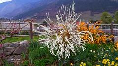 Sdtirol - South Tyrol (Italy) - Alto Adige - Italia >  Frhling in Algund (warata) Tags: italien italy alps italia pflanze alpen shrub blte strauch sdtirol altoadige southtirol adige dolomiten 2016 etsch algund lagundo