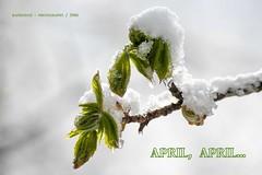 was auch immer das soll... (rafischatz... www.rafischatz-photography.de) Tags: hk snow tree leaves spring pentax chestnut k3