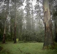 Foggy forest (jen 3163) Tags: cloud mist tree misty fog forest foggy gums eucalyptus dandenongs dandenongranges