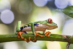 La rana verde de ojos rojos (Agalychnis callidryas) (esteban.cartin) Tags: ngc frog