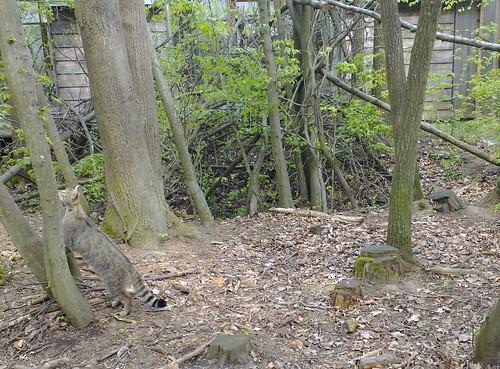 Wildkatze Frieda sucht Futter - Nationalpark Thayatal