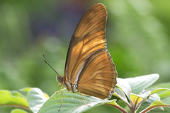 Butterfly 2016-27 (michaelramsdell1967) Tags: light orange flower green love nature beauty animals closeup butterfly bug garden insect photography photo leaf spring nikon natural cincinnati wildlife butterflies insects photograph zen upclose nky beauitful boheh