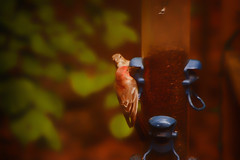 Finch time (2) (tommaync) Tags: bird nature animal nc nikon wildlife northcarolina feeder finch april chathamcounty 2016 d40