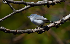 Blue-gray Gnatcatcher (Dinusaur) Tags: bird