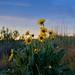 Hulls Gulch_Sunflowers