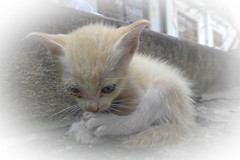 Yedi Meow (N808PV) Tags: white cat kitten stray meow lx7 yedi