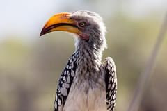 look at me (felipeepu) Tags: orange south safari afrika südafrika vogel schnabel