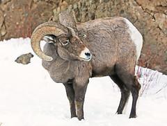 Ram Looking Back (wyojones) Tags: grass wildlife horns wyoming lookingback northfork bighornsheep rockymountainbighornsheep oviscanadensis absarokamountains wyojones northforkoftheshoshone absarokanationalforest