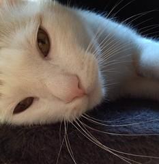 Meu (Paty Vera) Tags: barcelona white colour macro blanco cat spain live pussy bigotes inside fio mew iphone hocico fassbender gatoruso troniko fassbendermonamour bertoessuprimo paradecrearyaleche