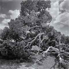 Living on the edge (claudiov958) Tags: arizona blackandwhite bw tree blancoynegro film landscape grandcanyon ngc diafine pretoebranco biancoenero hasselblad500c ilfordhp4plus photoka plustekopticfilm120 claudiovaldes