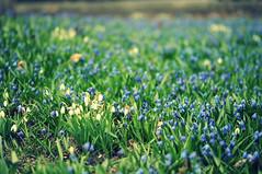 20140425 (zumakuma) Tags: toronto flower nature bluebell signofspring blipfoto