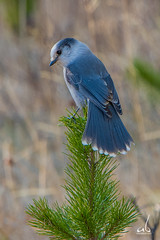 Mountain Gray Jay Perched on a Pine Tree (anoopbrar) Tags: wild bird nature beautiful birds pinetree kananaskis grey jay outdoor wildlife ngc birding gray perched jays songbird banffnationalpark grayjay greyjay wildlifephotography mountainjay