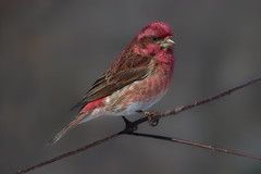 Purple finch male (Phiddy1) Tags: ontario canada birds finch algonquin purplefinch