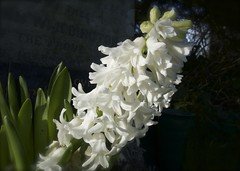 Loveliness (Englepip) Tags: sunlight white plant flower graveyard closeup outdoor hyacinth saveearth englepip