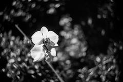 IMG_9973.jpg (CatherineDFW) Tags: orchid bokeh swirly helios442