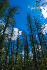 Tamaracks (Larix laricina) (wackybadger) Tags: tree wisconsin forest nikon tamarack larixlaricina kettlemorainestateforest nikond60 wisconsinstateforest wisconsinstatenaturalarea kettlemorainestateforestnorthernunit nikon1855mmf3556gafsvr sna59 sprucelakebogsna